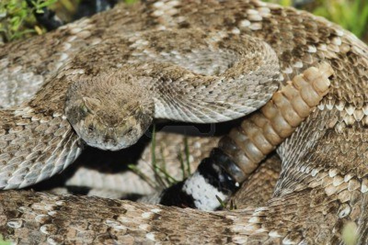 Come the Apocalypse, I Want to be with my Dog. – The View ... Western Diamondback Rattlesnake Striking
