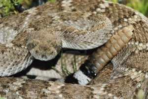735935-western-diamondback-rattlesnake-crotalus-atrox-native-to-the-southwestern-united-states-growes-to-a-
