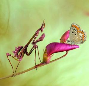 Praying Mantis and Butterfly