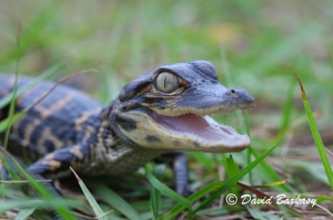American Alligator, baby Photo No. 3 660