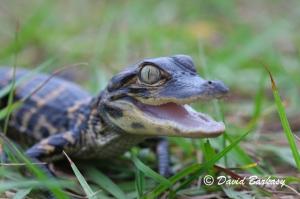 American Alligator, baby Photo No. 3 660