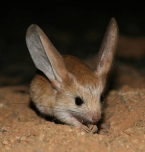 Big Eared Hopping Mouse