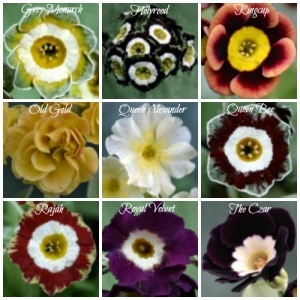 Collage - Auricula Royals - 500