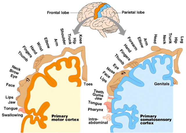 1.images_brain_map_final_MotorSensoryCortex-L