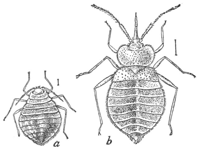 PSM_V37_D356_Bed_bugs