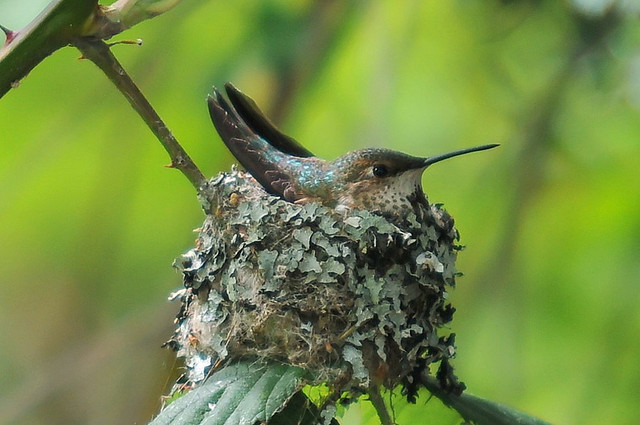 Rufous_hummingbird_(female_nesting)