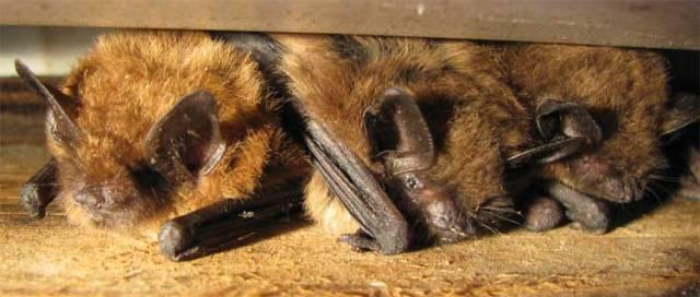 Brown_bats