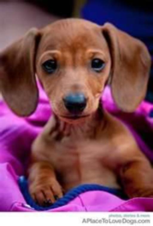 cute_dachshund_by_animalsavior-d52rhxi