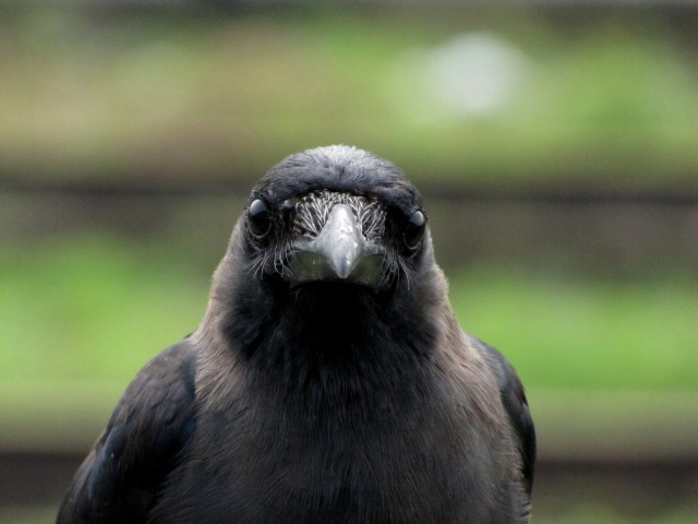 Crow-head-from-Mangalore