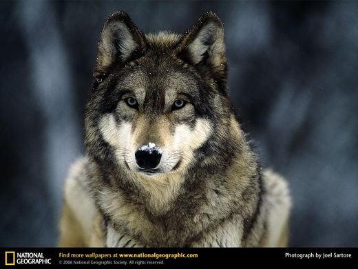 http _biomee.wikispaces.com_file_view_grey-wolf-snow.jpg_33063485_grey-wolf-snow