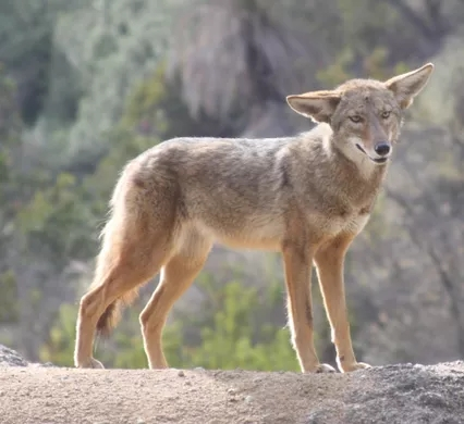 https _upload.wikimedia.org_wikipedia_commons_6_6f_Coyote_in_Griffith_Park_3