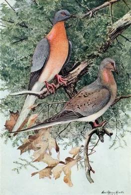 The_Passenger_Pigeon