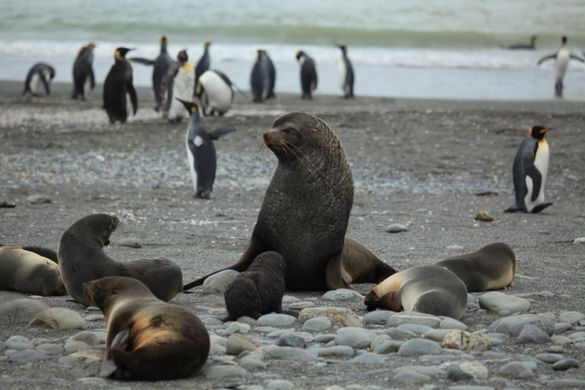 https _upload.wikimedia.org_wikipedia_commons_5_55_Antarctic_Fur_Seals_of_various_sizes_(5724162986)