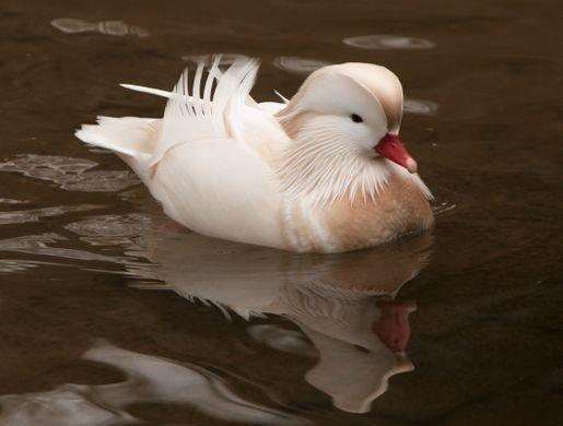 Mandarin Duck with Leucism