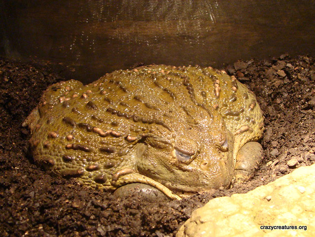 Giant Bullfrog in Æstivation