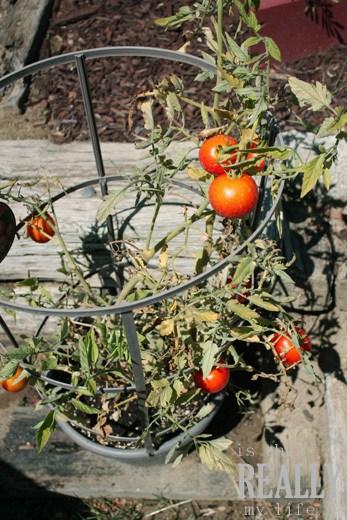 tomato_plant2