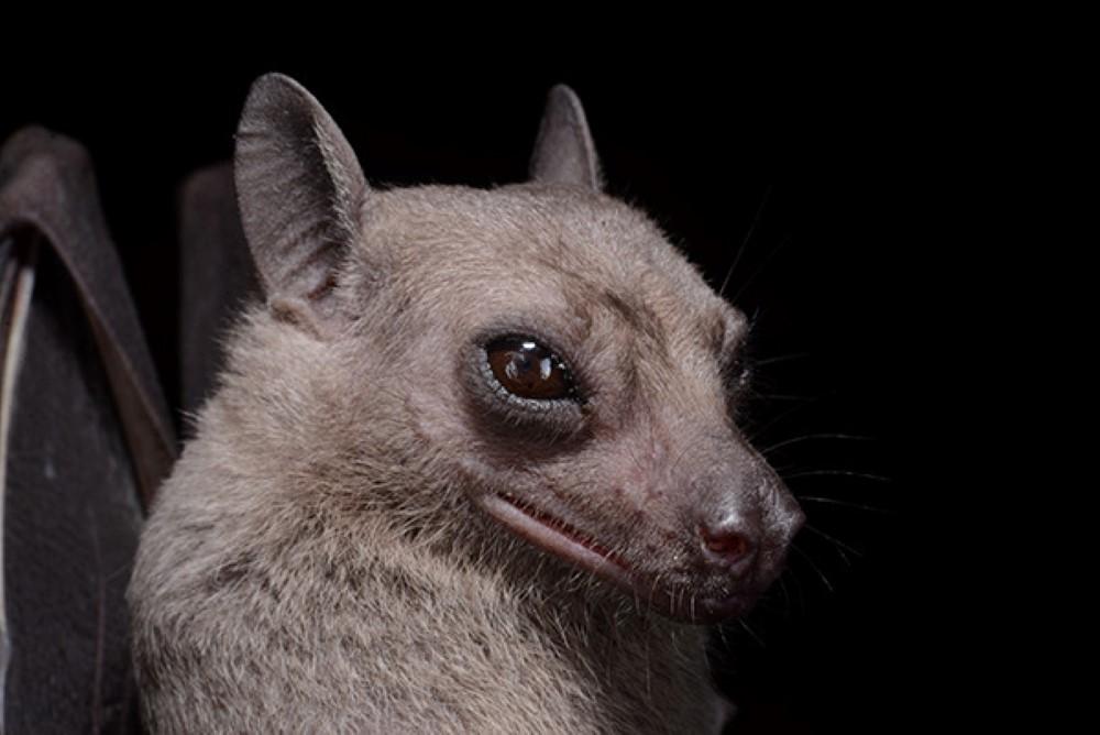Egyptian-fruit-bats