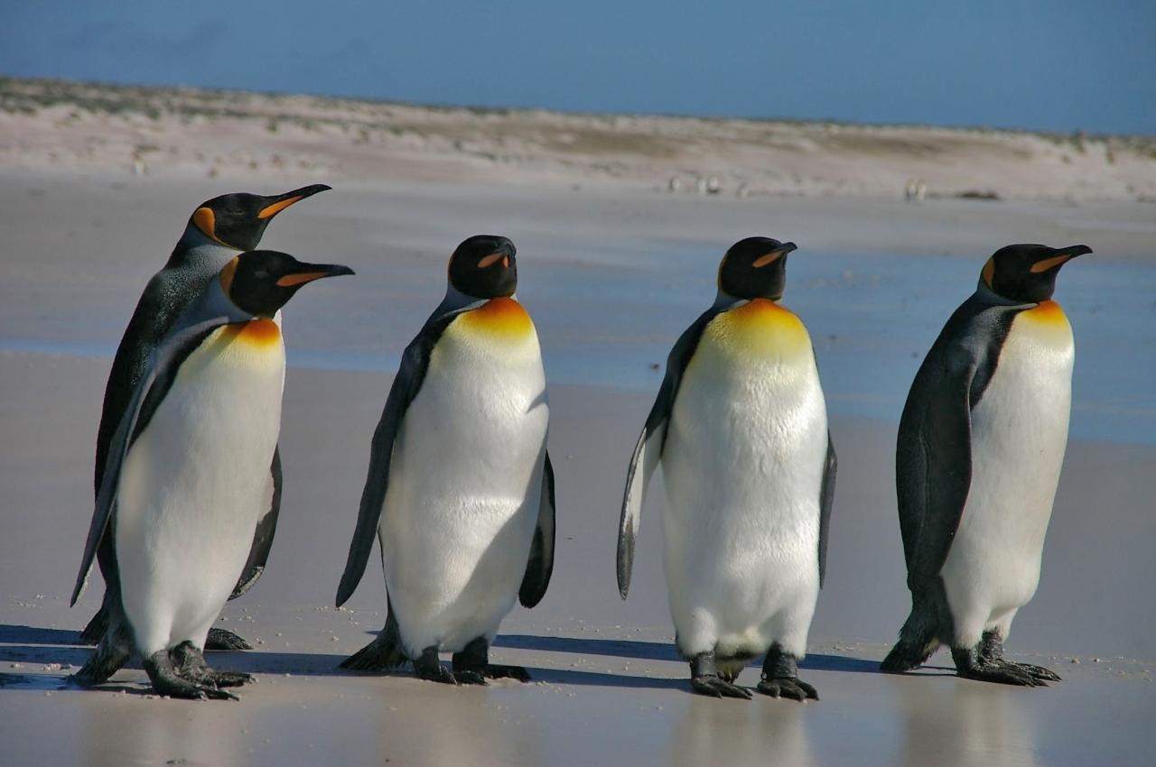 Falkland_Islands_Penguins_36