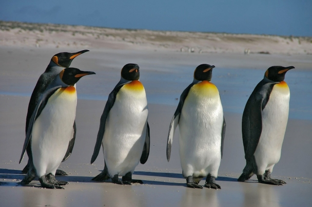 Falkland_Islands_Penguins_36