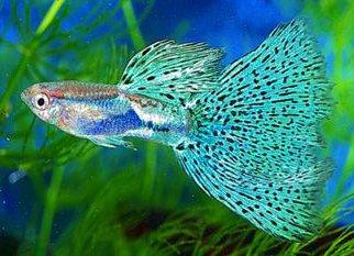 Guppy_Fish