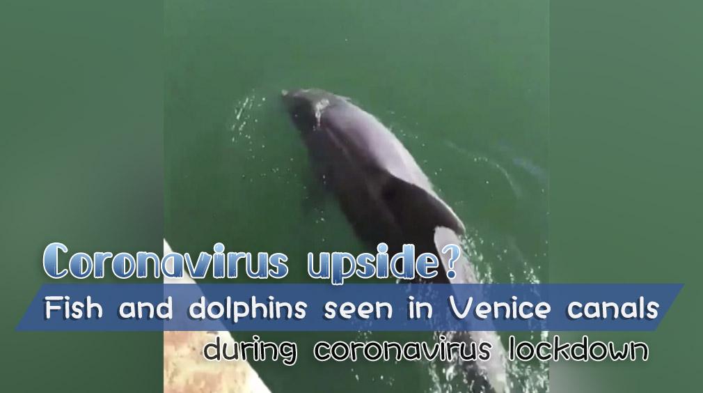 Dolphins venice