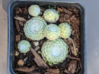Succulent12